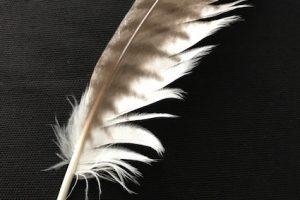 フクロウ ペット 換羽